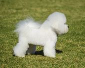 image of bichon frise dog  - A profile view of a small beautiful and adorable bichon frise dog standing on the lawn and looking cheerful - JPG