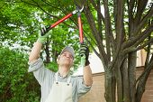 stock photo of cutting trees  - Professional gardener pruning a tree - JPG
