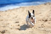 stock photo of french bulldog puppy  - French bulldog puppy running on the beach - JPG