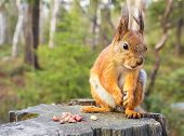 stock photo of animal teeth  - Squirrel with nuts and summer forest on background wild nature thematic  - JPG