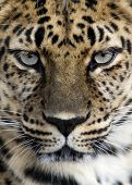 stock photo of leopard  - Close - JPG