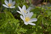stock photo of windflowers  - Anemone nemorosa early - JPG