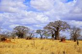 stock photo of baobab  - Baobab or boab - JPG