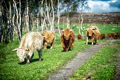 picture of longhorn  - Longhorn Cattle in field of green grass with trees and a path - JPG