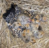 picture of bantams  - bantam chicken and chick in a nest - JPG