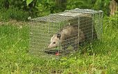 stock photo of possum  - Virginia opossum Didelphis virginiana in a trap - JPG