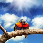 picture of lorikeets  - Pair of Rainbow Lorikeets - JPG