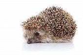 stock photo of omnivores  - Prickly hedgehog - JPG