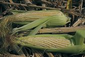 picture of zea  - Maize corns zea mays var amylacea - JPG