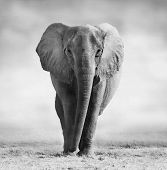 stock photo of endangered species  - Artistic black and white image of an African Elephant walking towards the camera - JPG