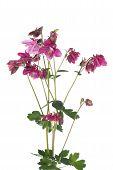 stock photo of columbine  - Bouquet of purple flowers columbine isolated on white background - JPG