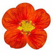 stock photo of nasturtium  - Red nasturtium flower Isolated on White Background - JPG