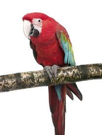 stock photo of green-winged macaw  - Green - JPG