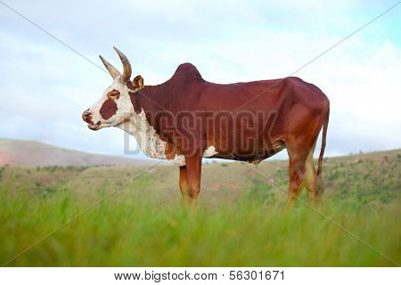 Zebu cattle on a green meadow. Madagascar