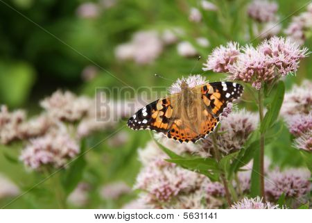Painted Lady Butterfly On Hemp Agrimony