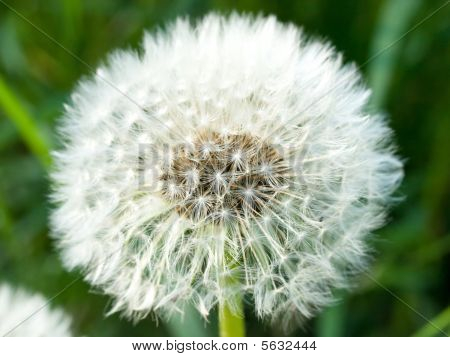 Dandelion Head, Spring Flower