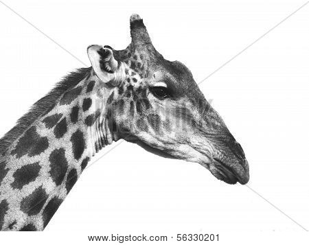 Giraffe Portrait In Black And White