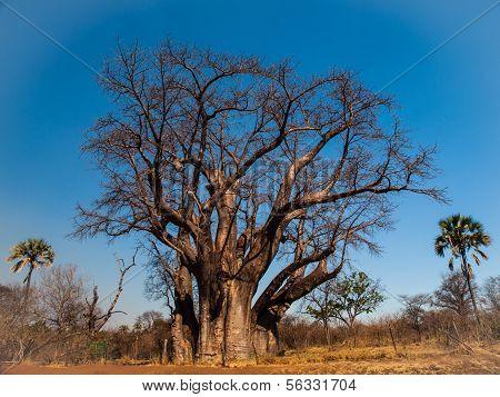 Big Baobab Tree