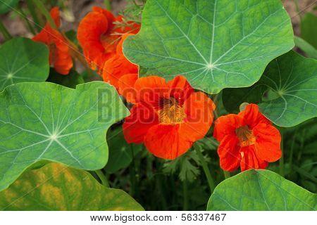 Kapuzinerkresse orange Farben, wachsen im Topf