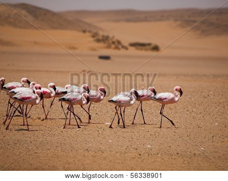 Flamingo March In Namib Desert