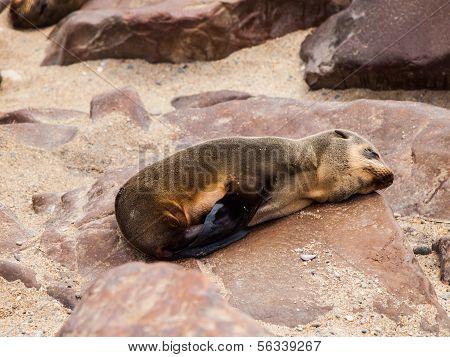 Brown Fur Seal (Arctocephalus pusillus)