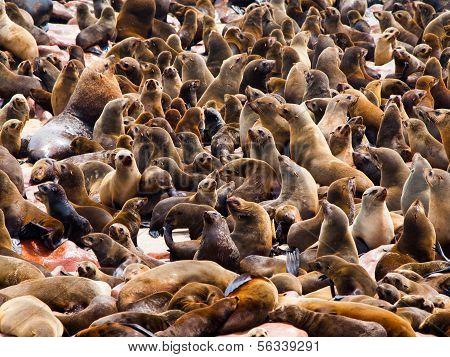 Brown Fur Seal Colony (arctocephalus Pusillus)