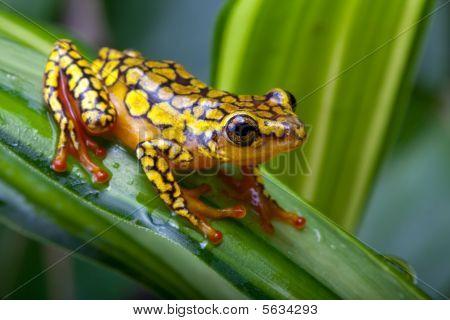 Arlequim Dendrobatidae Frog