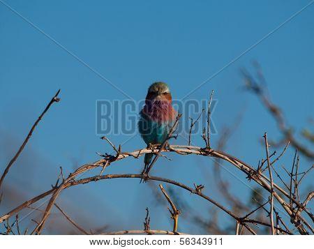 Lilac-breasted Roller (coracias Caudatus)