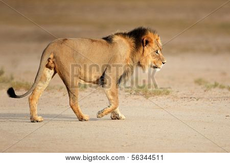 Big male African lion (Panthera leo) walking, Kalahari, South Africa