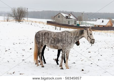 Two Horses Dapple-grey And Dark Standing On The Snowy Village