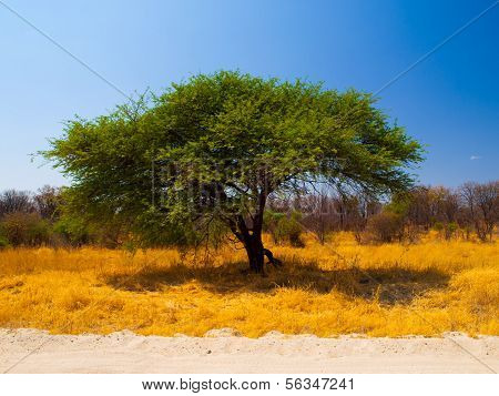 Typical African Acacia Tree