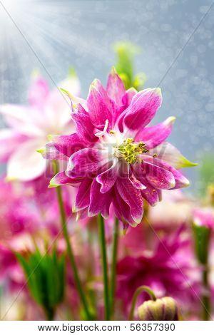 Aquilegia (common Names: Granny's Bonnet Or Columbine) Is A Perennial Plants