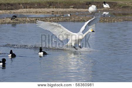 Aterrizaje de Bewick Swan