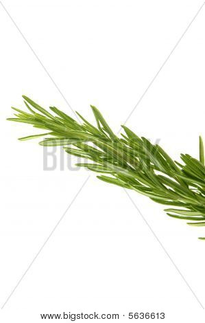 Rosemary Green Branch Close Up