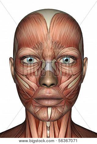 Female Anatomy Face