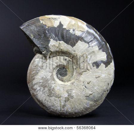 Fossil Ammonite Eleganticeras sp.