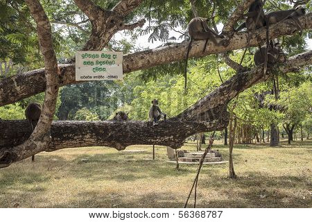 Black Faced Monkey Family Sitting On A Tree
