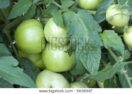 Green Tomatoes On The Vine
