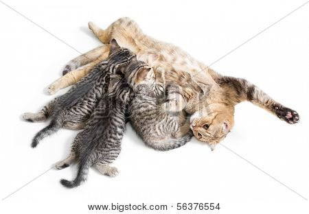 kittens brood feeding by happy mother cat isolated on white background