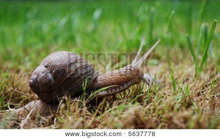 active snail