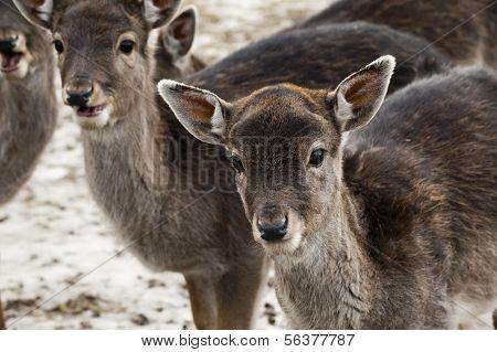 Fallow Deer