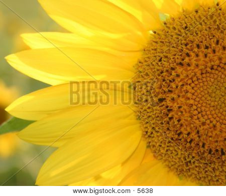 Half Sunflower