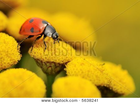 Macro Of A Ladybug On A Yellow Flower