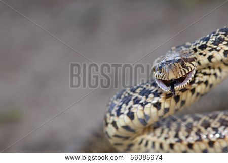 Grumpy Bull Snake