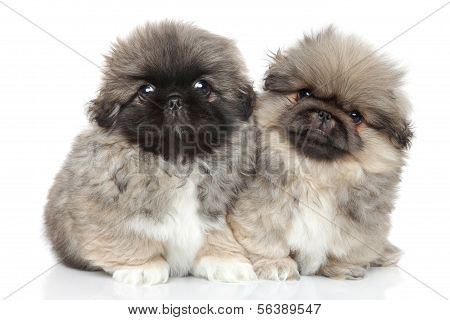 Pekingese Puppies On A White Background