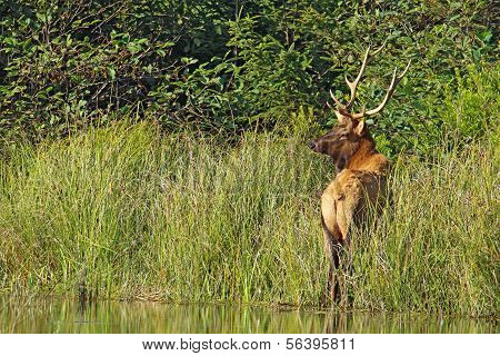 Male Roosevelt Elk In Prairie Creek Redwoods State Park, California