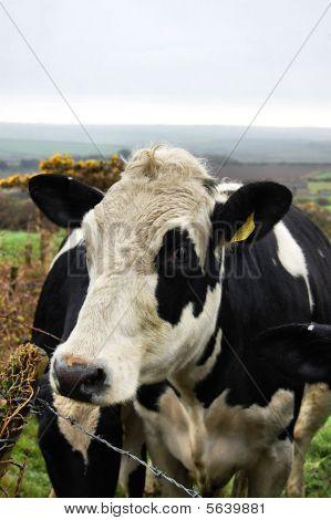 cow in a field