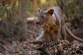 picture of cunning  - Endemic Fossa  - JPG
