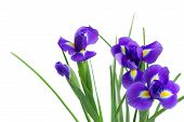 picture of purple iris  - blue  irises flower  close up  isolated on white background - JPG