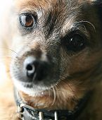 picture of chihuahua mix  - a very old senior dog - JPG
